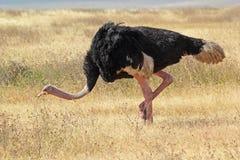 Het mannelijke struisvogel lopen Stock Foto
