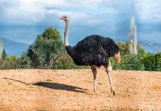 Het mannelijke struisvogel lopen Royalty-vrije Stock Foto