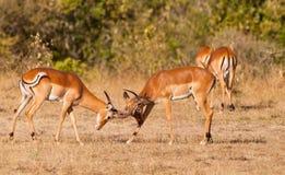 Het mannelijke vechten van de Antilopen van de Impala Stock Foto