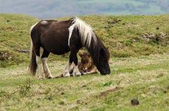Het mannelijke veulen van de Dartmoorponey tussen de benen van de moeder stock foto