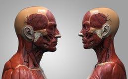 Het mannetje en het wijfje van de menselijk lichaamsanatomie Royalty-vrije Stock Afbeeldingen