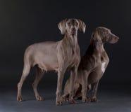 Het mannetje en het wijfje van de Weimarhond royalty-vrije stock afbeeldingen