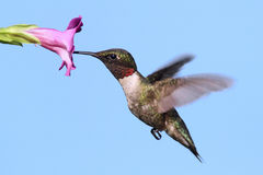 Het mannetje robijnrood-Throated Kolibrie Royalty-vrije Stock Afbeeldingen