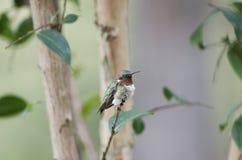 Het mannetje robijnrood-Throated kolibrie Stock Foto's