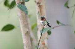Het mannetje robijnrood-Throated kolibrie Stock Foto