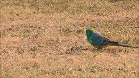 Het mannetje rood-Rumped de papegaai die van het Papegaaigras wat gras op een gebied alleen in Australië eten stock video