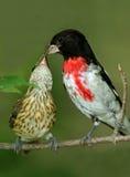 Het mannetje roze-Breasted Grosbeak Voedende Jongelui Royalty-vrije Stock Afbeeldingen