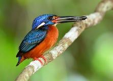 Het mannetje van blauw-Eared ijsvogel & x28; Alcedo meninting& x29; een weinig ben Stock Foto's