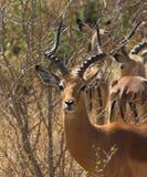 Het Mannetje van de impala Stock Afbeeldingen