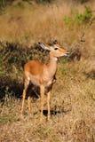 Het Mannetje van de impala (melampus Aepyceros) Stock Foto