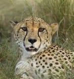 Het mannetje van de jachtluipaard stock afbeeldingen