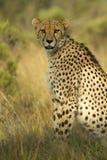 Het mannetje van de jachtluipaard Royalty-vrije Stock Foto