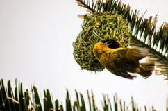 Het mannetje van de kaapwever Stock Foto's