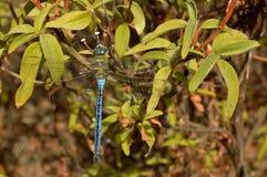 Het mannetje van de keizerlibel Stock Afbeeldingen