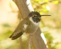 Het Mannetje van de Kolibrie van een Costa stock afbeeldingen