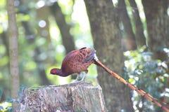 Het mannetje van de koperfazant in Zuiden Kyushu, Japan stock foto's