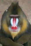 Het mannetje van de mandril Royalty-vrije Stock Foto
