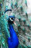 Het mannetje van de pauw royalty-vrije stock afbeeldingen