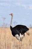 Het mannetje van de struisvogel Royalty-vrije Stock Fotografie