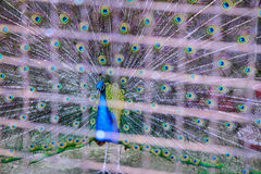 Het mannetje van de vogelpauw Royalty-vrije Stock Fotografie