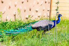 Het mannetje van de vogelpauw Stock Foto's