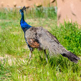 Het mannetje van de vogelpauw Stock Foto