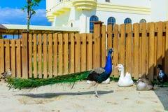 Het mannetje van de vogelpauw Royalty-vrije Stock Foto