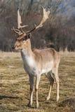Het mannetje van hertendama in aard, Europees het wilddier of zoogdier in wildernis Royalty-vrije Stock Afbeeldingen