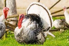 Het mannetje van Turkije Royalty-vrije Stock Foto's