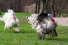Het mannetje van Turkije of gobbler het weiden op een groene grasachtergrond Royalty-vrije Stock Afbeelding
