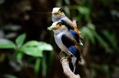 Het mannetje zilveren-Breasted Broadbill (Serilophus-lunatus) Stock Afbeeldingen