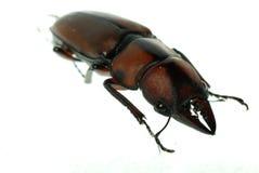 Het mannetjeskever van het insect stock afbeeldingen