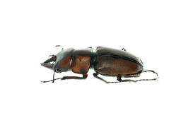 Het mannetjeskever van het insect royalty-vrije stock afbeeldingen