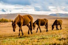 Het marcheren van drie paarden Stock Afbeeldingen