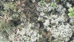 Het marcheren van mieren in het mos stock videobeelden