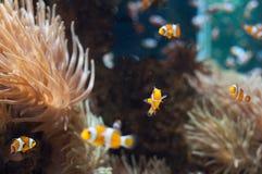 Het mariene leven - clownfish Royalty-vrije Stock Foto's