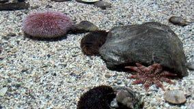 Het mariene leven - Echinus - Rode Zeeëgels stock video