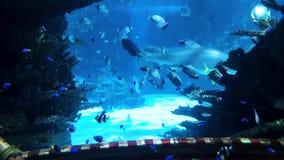 Het mariene leven van kleine vissen en grote haaien achter glas van groot aquarium stock footage