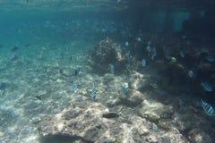 Het mariene leven - vissen Stock Afbeelding