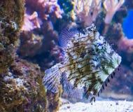 Het mariene portret van het de vissenhuisdier van het het levens tropische aquarium van een stekelige leder-jasjevis die in de er royalty-vrije stock foto