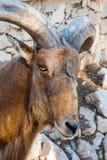 Het Marokkaanse dichte omhooggaande portret van Mouflon royalty-vrije stock afbeelding