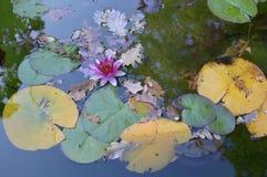 Het meer met waterlelies Royalty-vrije Stock Afbeelding