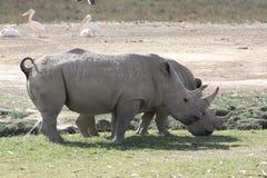 Het Meer Nakuru van de rinoceros Stock Afbeeldingen