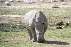 Het Meer Nakuru van de rinoceros stock fotografie