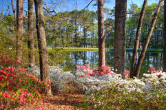 Het meer van de azalea Stock Foto