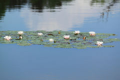 Water-lelie Stock Afbeelding
