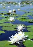 Het meer van de zomer met waterleliebloemen Stock Afbeeldingen