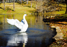 Het meer van de zwaan Stock Fotografie