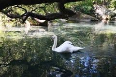 Het meer van de zwaan Stock Afbeeldingen