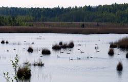 Het meer van de zwaan Meer Kanieris in Mei letland Royalty-vrije Stock Foto